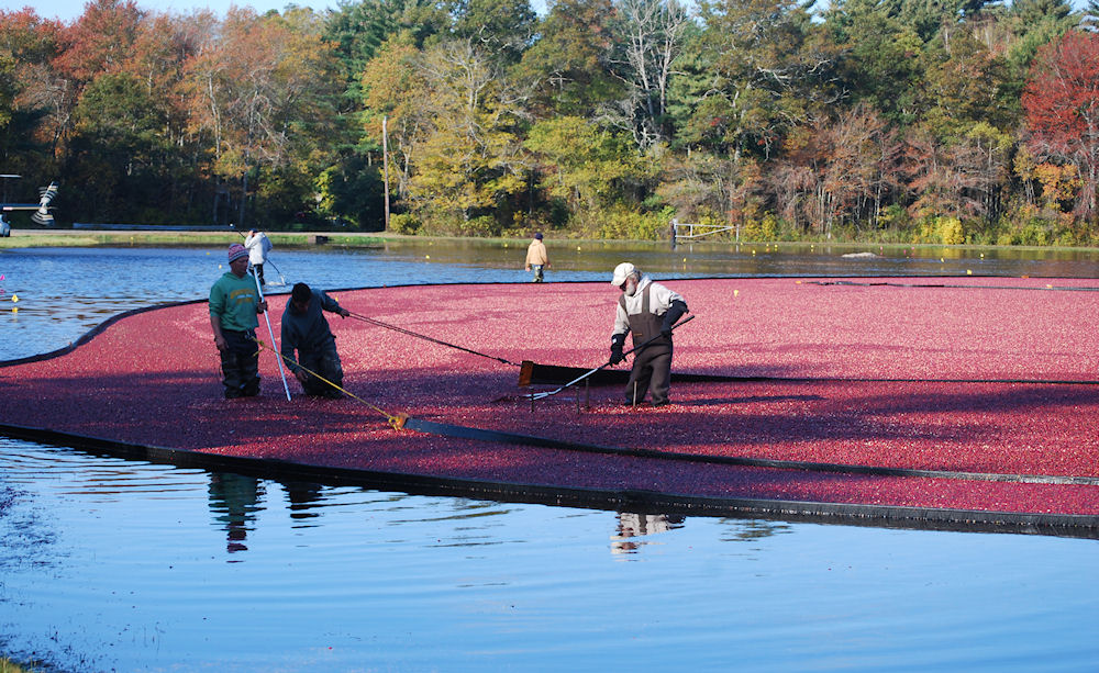 Cranberry growers work to harvest the fruit from a